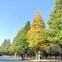 靖国神社の紅葉